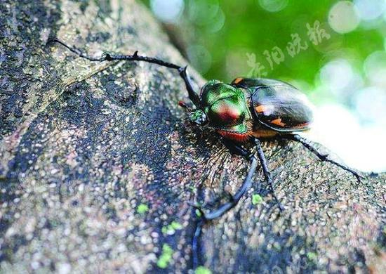 Rare beetle found in SW China province